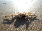 crab, cancer, beach