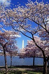 washington monument, cherry trees, blossoms