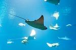 ray, fish, water