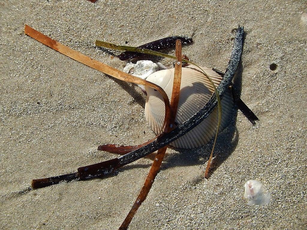 Obraz West Lakes Shore Beach. seaweed art beach nature composition design sand shell grains westlakesshore