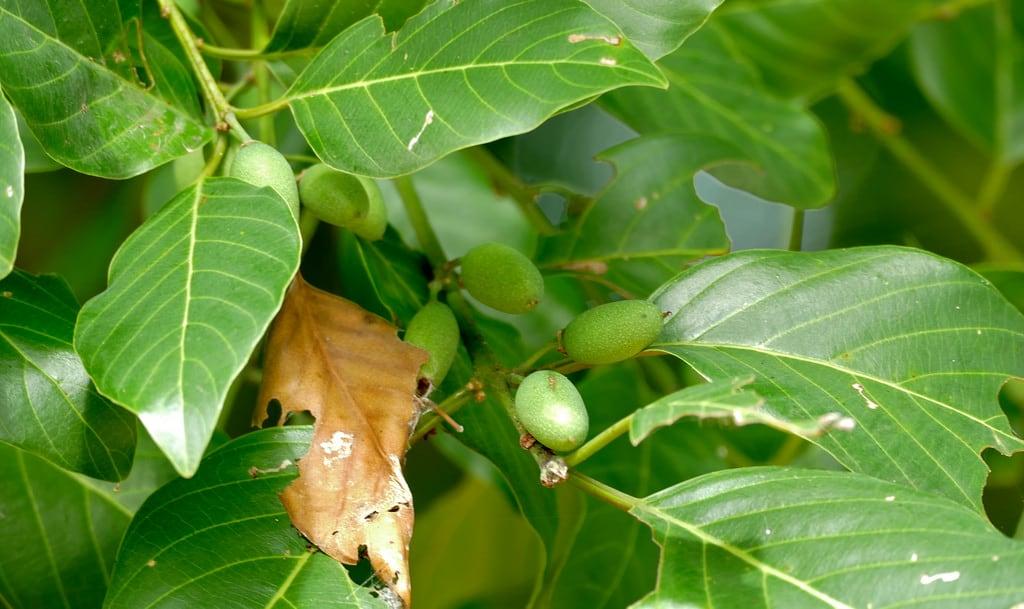 Shirimantanga görüntü. southafrica kruger skukuza rhamnaceae brownivory berchemiadiscolor taxonomy:binomial=berchemiadiscolor