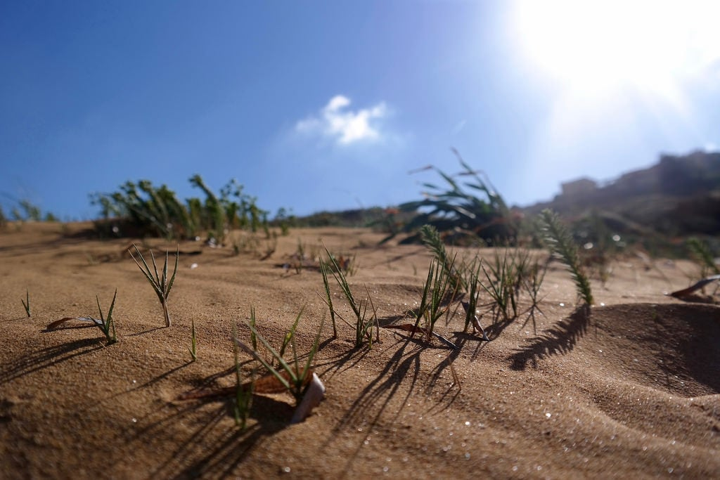 Attēls no Ramla l-Hamra. sea plants sun beach strand bay sand meer mediterranean pflanzen malta gozo ramla 2016 mittelmeer sprachcaffe