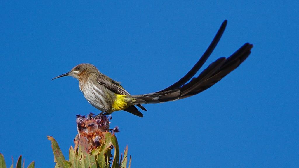 صورة Kirstenbosch Botanical Gardens. southafrica birding taxonomy:binomial=promeropscafer promeropscafer kirstenbosch capesugarbird birdwatching bird