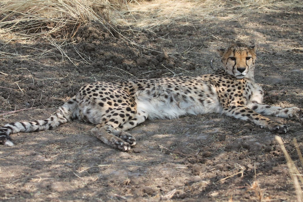 Bild av Cheetah Conservation Fund. namibia africa cheetahconservationfund cheetah otjiwarongo