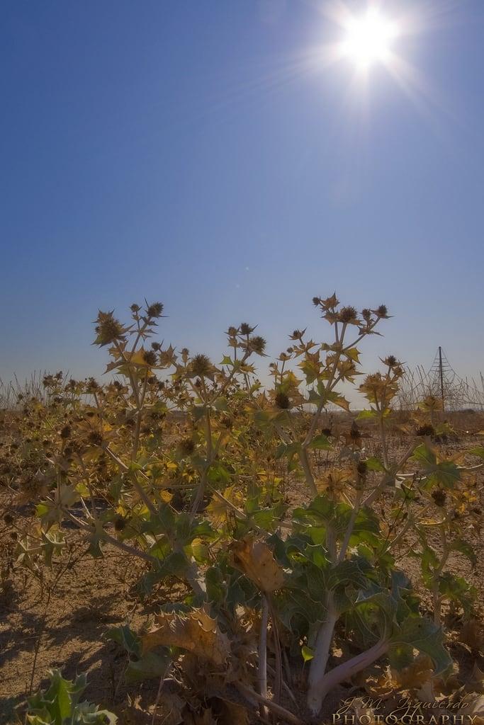 Image of Platja de Viladecans. españa sun beach geotagged bush thistle esp castelldefels cataluna elmasblau geo:lat=4127491584 geo:lon=206291914