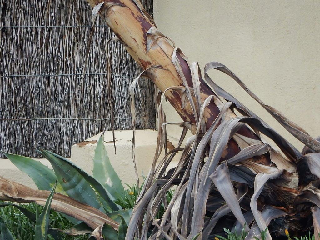 Image of Henley Beach near Henley Beach. henleybeach tree learning layers leaves peeling brushfence