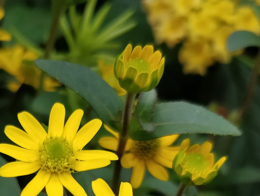 Butchart Gardens の画像. butchartgardens brentwoodbay yellow daisy bud opening closeup flowerbed