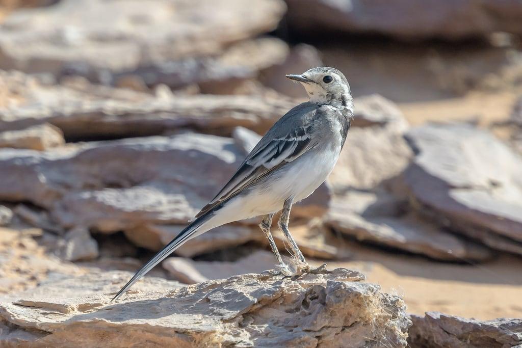 Изображение на Abu Simbel. abusimbel africa avian bird birds egypt lakenasser motacillaalba nature nileriver outdoors wagtail whitewagtail wildlife