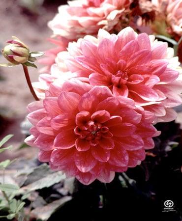 Изображение на El Arboreto de El Carambolo. dahlia flores flower plantas ecología jardín jardínbotánico medioambiente arboreto carambolo emasesa emasesametropolitana arboretodelcarambolo