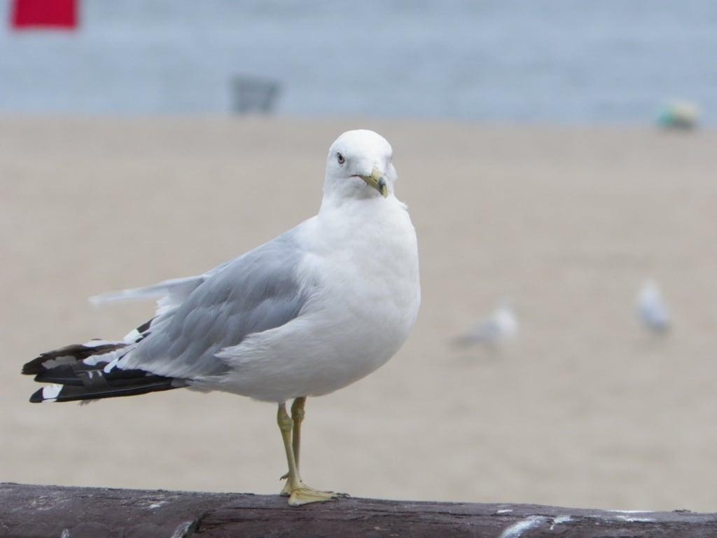 Attēls no Orchard Beach. nyc funnyface newyork bird beach bokeh bronx seagull gull pelhambaypark 2012 orchardbeach sideeye kodakz5010