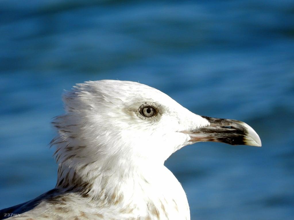 Okeanida (Ωκεανίδα) 809 Metre uzunluğunda plaj görüntü. seagull beak seabird birdhead birdeye γλάροσ ράμφοσ