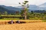 Zdjęcie:   Indonezja  Bali  Nusa Dua  (paddy, bali, uprawa ryżu)