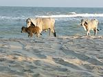 Zdjęcie:   Tajlandia  Bangkok  (krowy, beach, tajlandia)